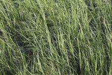 Free Grass Royalty Free Stock Image - 6014276
