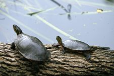 Free Two Turtles Royalty Free Stock Photography - 6014757