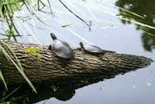 Free Two Turtles Royalty Free Stock Photo - 6014785