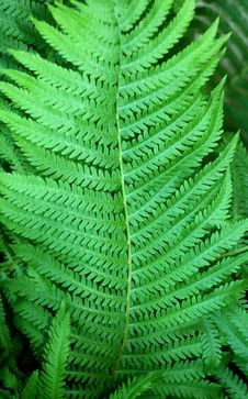Free Fern Leaf Stock Photography - 6015392