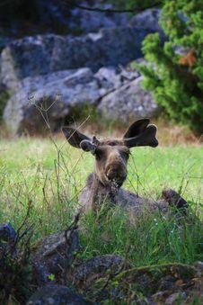 Free Elk Stock Image - 6015671