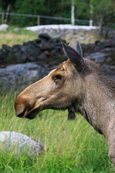 Free Elk Stock Photo - 6015680