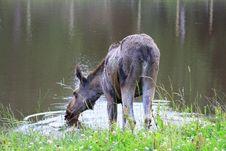 Free Elk Stock Photography - 6015742