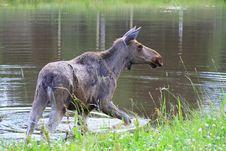 Free Elk Royalty Free Stock Photos - 6015788