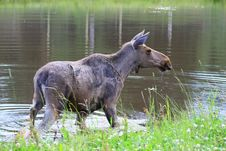 Free Elk Stock Photography - 6015792