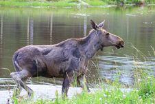 Free Elk Stock Photo - 6015800