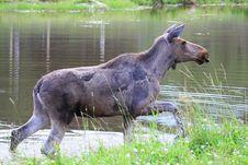 Free Elk Royalty Free Stock Photos - 6015838