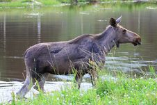 Free Elk Royalty Free Stock Photo - 6015845