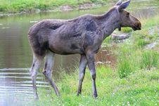 Free Elk Royalty Free Stock Photos - 6015898