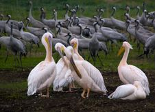 Free Pelicans And Cranes Royalty Free Stock Images - 6016339