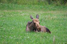 Free Elk Stock Photos - 6016543
