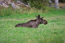 Free Elk Royalty Free Stock Images - 6016589