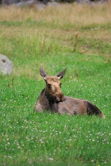 Free Elk Stock Photos - 6016723