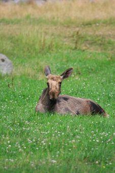 Free Elk Royalty Free Stock Photography - 6016737