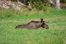 Free Elk Royalty Free Stock Photos - 6016758