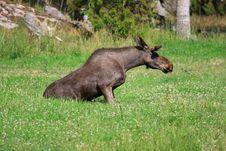 Free Elk Stock Photo - 6016780