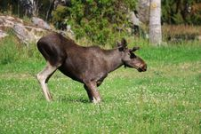 Free Elk Stock Photography - 6016872