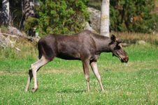 Free Elk Royalty Free Stock Photos - 6017038