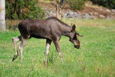 Free Elk Stock Photo - 6017140
