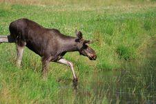 Free Elk Royalty Free Stock Image - 6017326