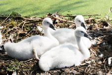 Free Three Downy Cygnets Stock Images - 6017444