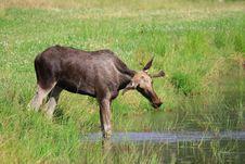 Free Elk Royalty Free Stock Photo - 6017475