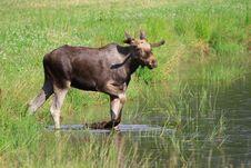 Free Elk Stock Photography - 6017562
