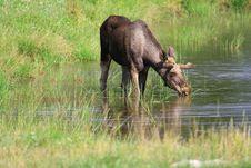 Free Elk Stock Photography - 6017732