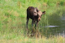 Free Elk Stock Photos - 6017773