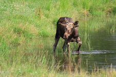 Free Elk Stock Photo - 6017780