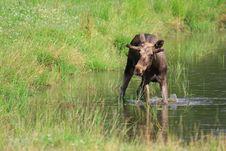 Free Elk Royalty Free Stock Image - 6017796