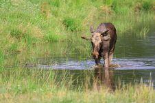 Free Elk Stock Image - 6017991