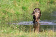 Free Elk Royalty Free Stock Images - 6018009