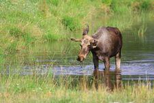 Free Elk Royalty Free Stock Photography - 6018277