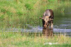 Free Elk Royalty Free Stock Photo - 6018295