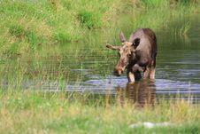 Free Elk Royalty Free Stock Image - 6018316