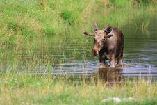 Free Elk Royalty Free Stock Photography - 6018367
