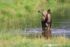 Free Elk Royalty Free Stock Images - 6018379