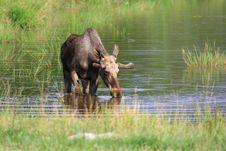 Free Elk Royalty Free Stock Photo - 6018415
