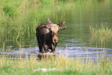Free Elk Royalty Free Stock Images - 6018459