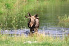 Free Elk Royalty Free Stock Photo - 6018485
