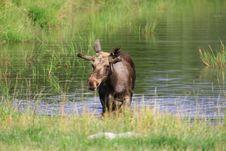 Free Elk Royalty Free Stock Photo - 6018515