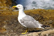 Free Seagull Royalty Free Stock Images - 6018579