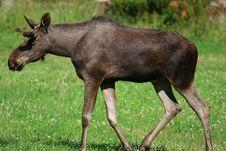 Free Elk Stock Images - 6018684