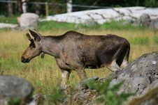Free Elk Royalty Free Stock Photo - 6018715