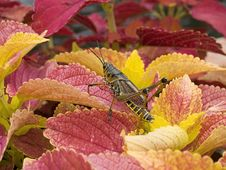 Free Colorful Grasshopper Stock Photography - 6018952
