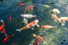 Free Colorful Carp Royalty Free Stock Image - 6019466
