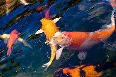 Free Colorful Carp Stock Photos - 6019493
