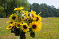 Free Sunflowers In Vase In Field Royalty Free Stock Photography - 6023027