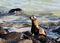 Free Baby Sea Lion Stock Images - 6023054